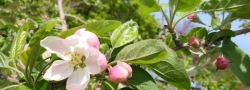 R2・5/25 リンゴの花が満開です