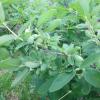令和3年度の果物狩りは6月24日のハスカップ狩からスタートです。
