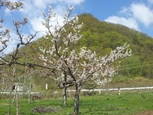 2014-05-10 梅の花(縮小)