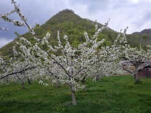 200514 hp 桜桃の花 (2)